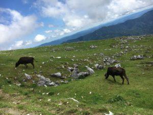 四国カルストの大自然と牛