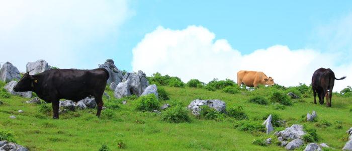 カルストでのんびりする牛たち