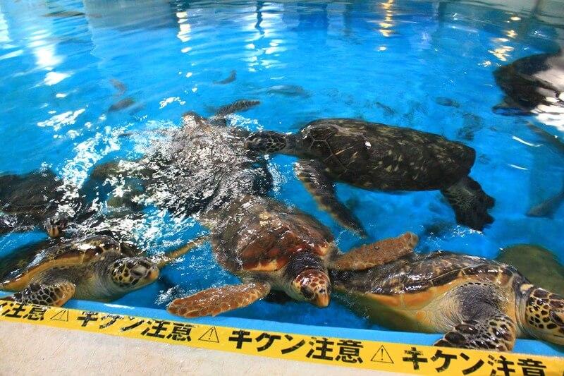 桂浜水族館のウミガメ