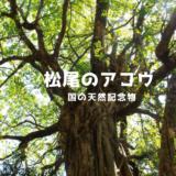 高知 土佐清水にある松尾のアコウの木【国の天然記念物】
