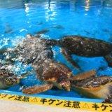 桂浜水族館のウミガメのえさやりコーナー
