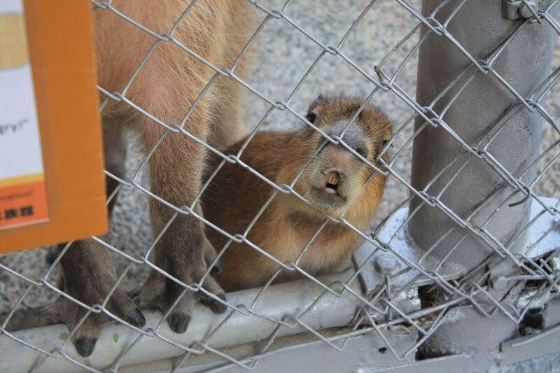 桂浜水族館のカピバラの赤ちゃん