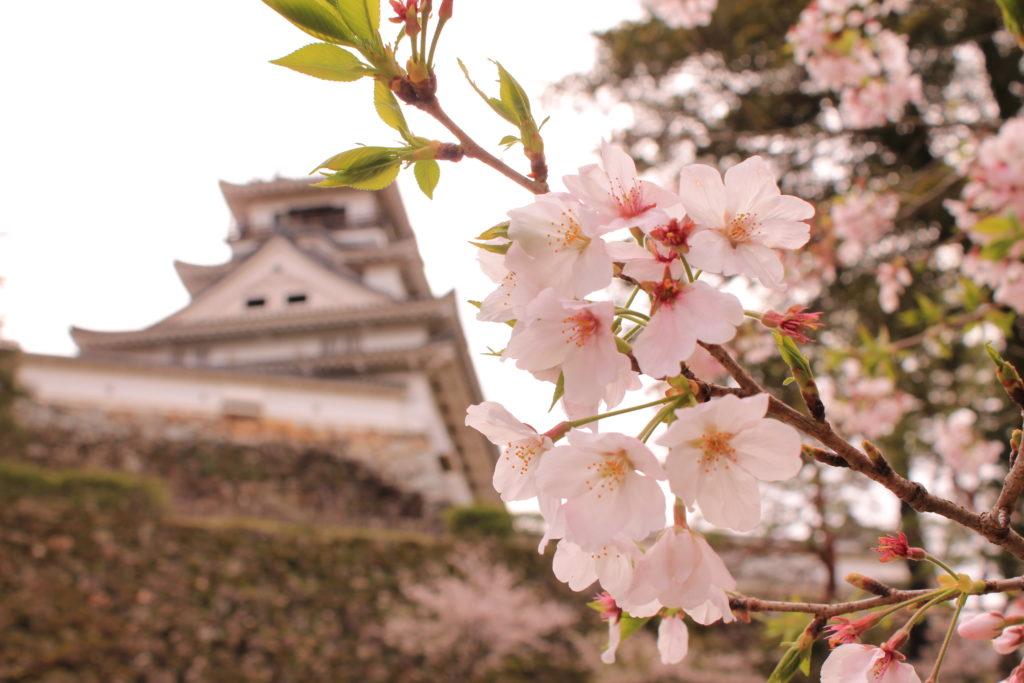 高知城と桜
