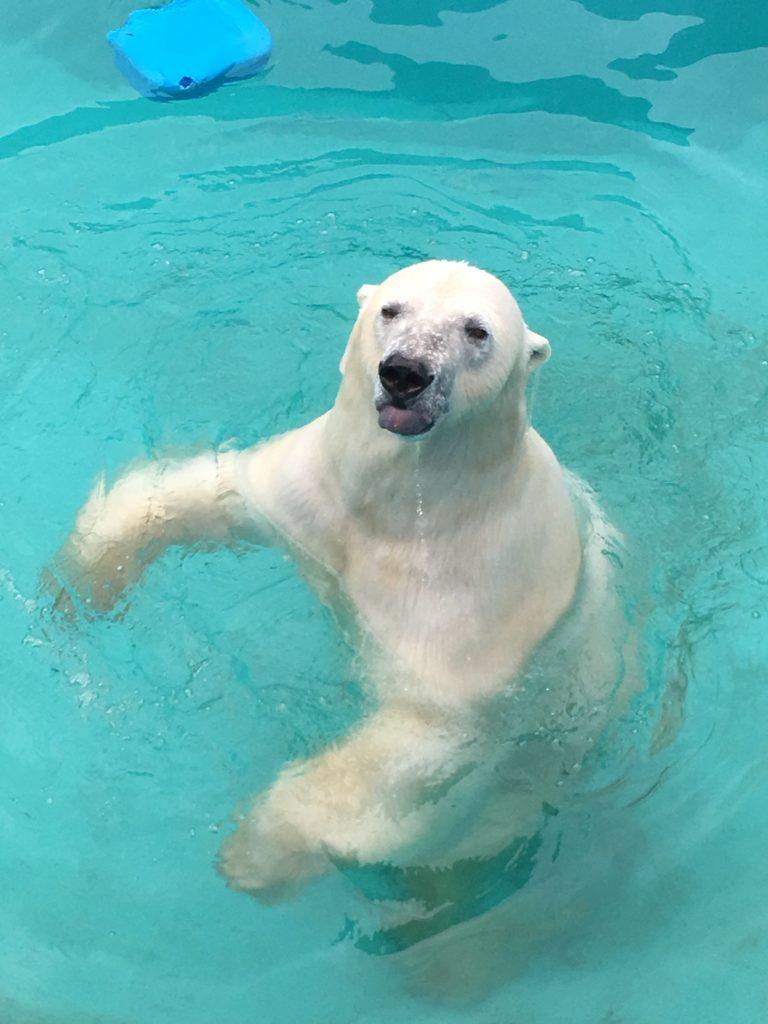 釧路動物園のしろくま:キロル