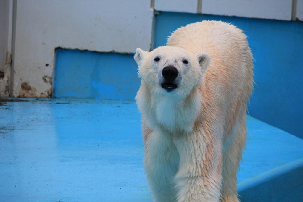 釧路動物園のしろくま:ミルク