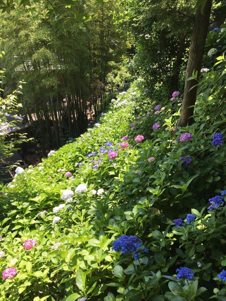 順番に咲く6月の長谷寺のあじさい