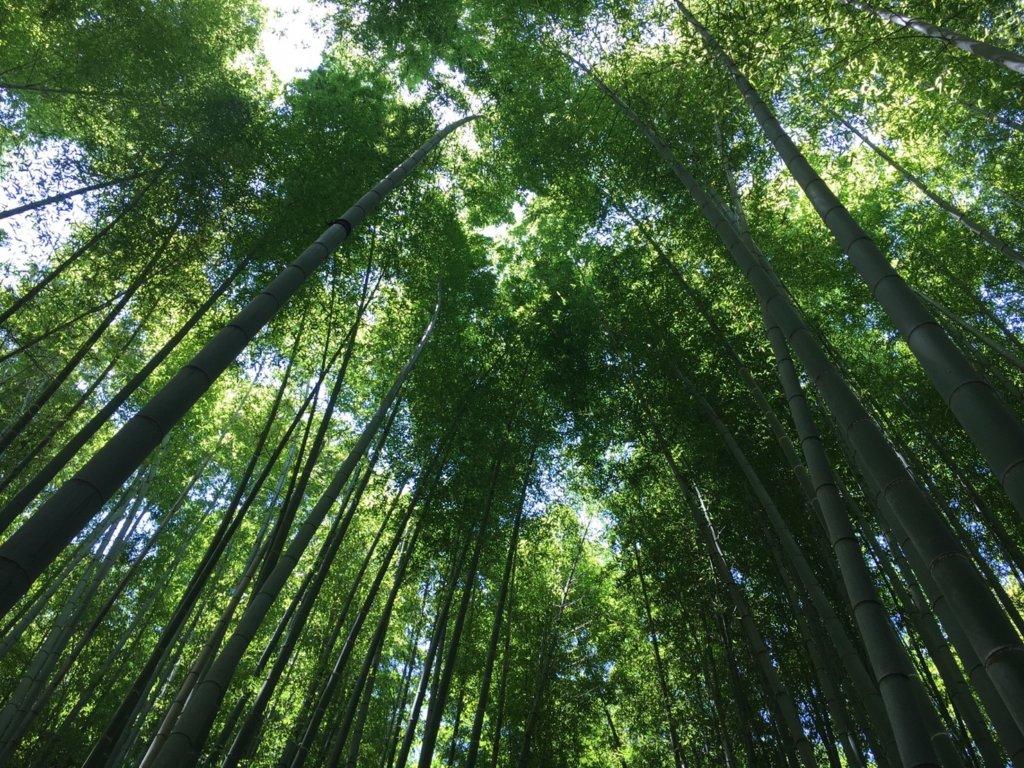報国寺の竹林(下からみたところ)
