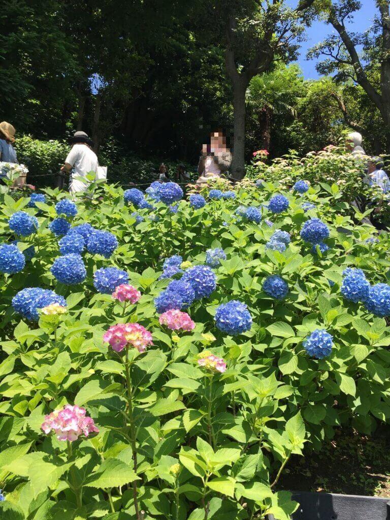 長谷寺に咲くあじさい