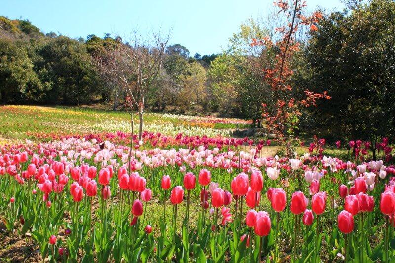 モネの庭のチューリップ畑