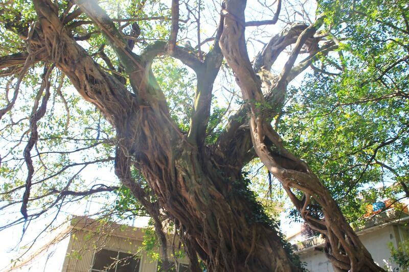 松尾のアコウの木、道沿いにある方
