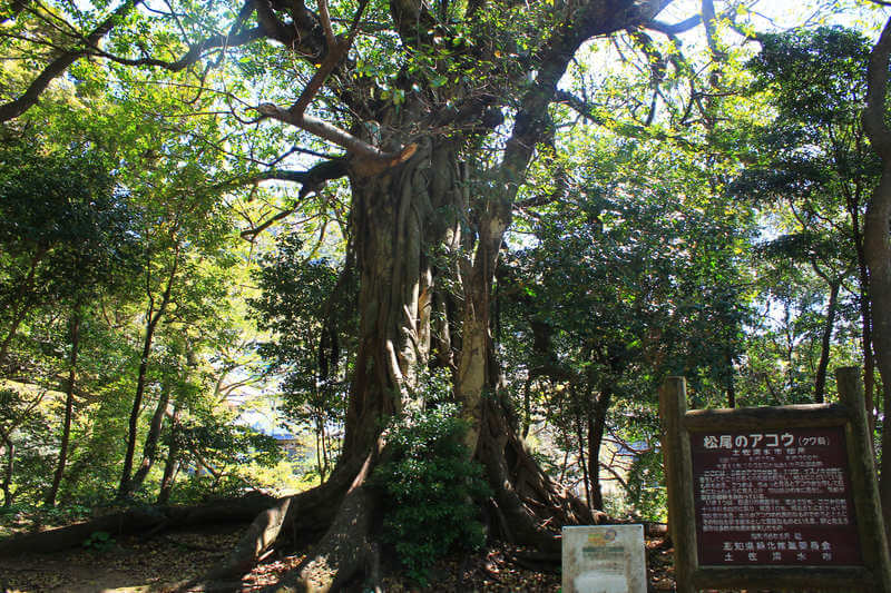 天然記念物の松尾のアコウ