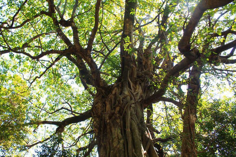 松尾のアコウの木