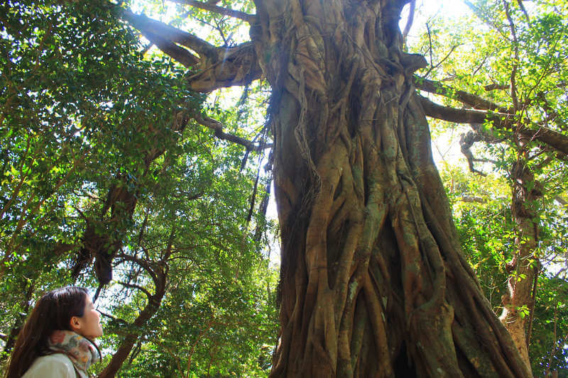 松尾のアコウの木を見上げる