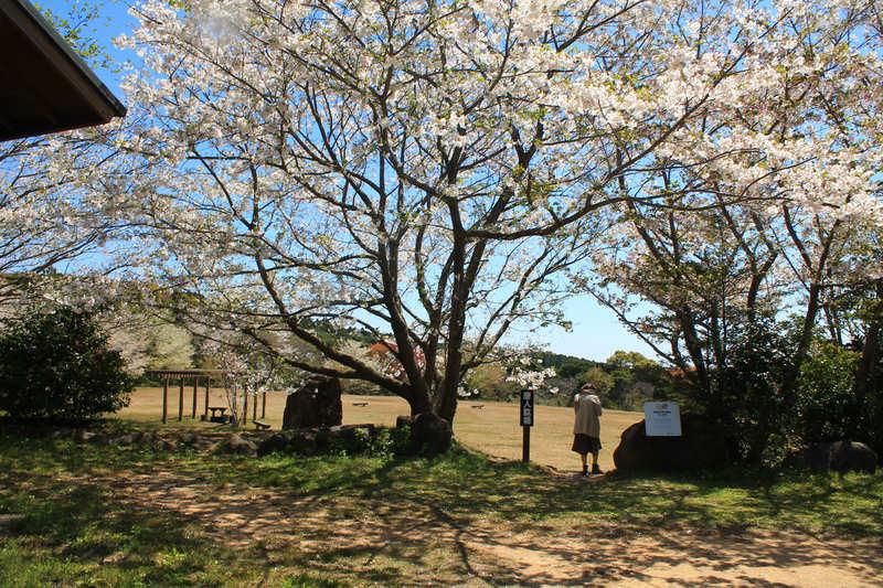 唐人駄場遺跡の桜