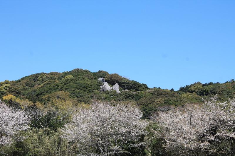 唐人駄場遺跡 巨石群と桜