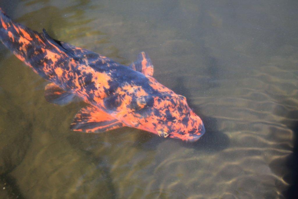 金剛福寺の池のコイ